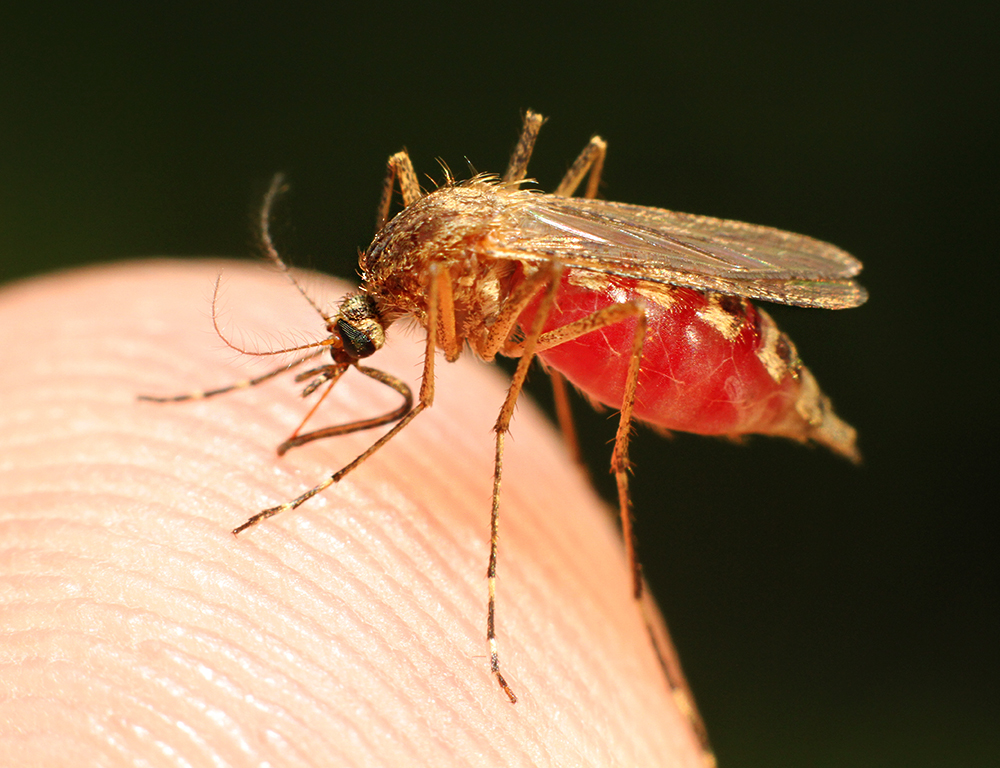 A close-up of a mosquito on a human fingertip.