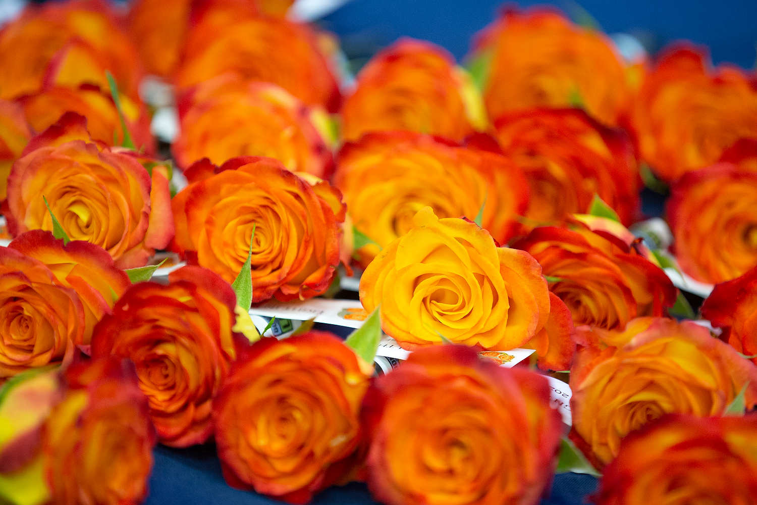 A close-up of several orange-red roses laying on a table. Paper tags are attached to the stem of each one.