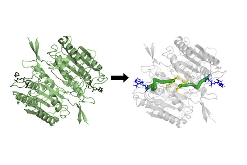 An illustration showing how Ohm, a computer algorithm created by Penn State College of Medicine researchers, can predict an allosteric pathway in a protein.