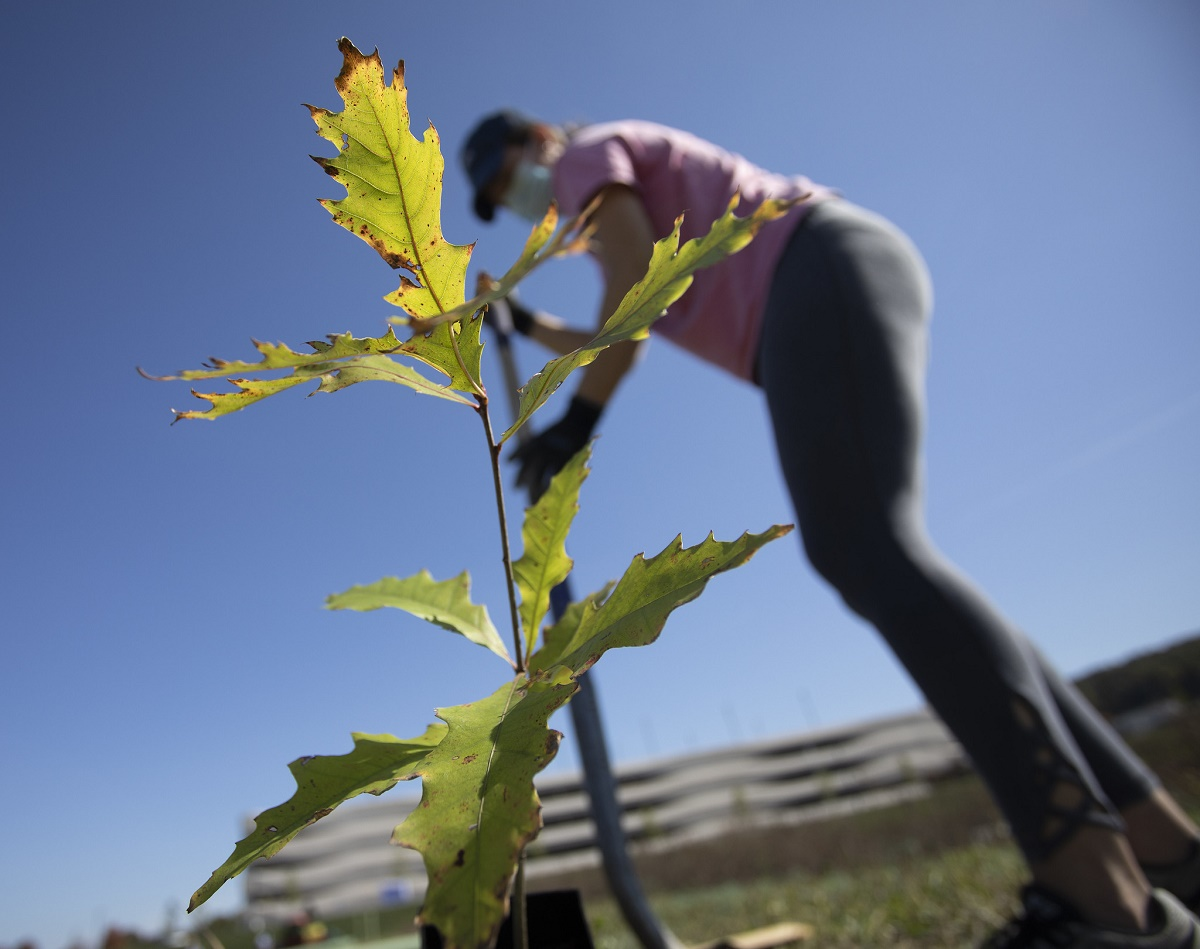 Green native sapling being planted into the ground by woman wearing visor, facemask, pink shirt and grey pants. Woman is digging into the ground with a shovel.