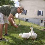 Man leans over and feeds two ducks in his backyard. He is wearing a baseball cap, short-sleeved shirt, shorts and sneakers. A house is in the background.