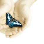 Two caucasian hands cupped together holding a black blue and white butterfly